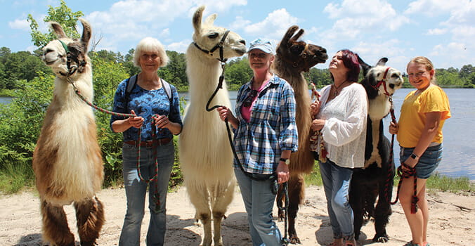 Llama Walks? It's a thing