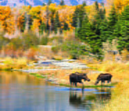 Nature - Moose in the Grand Tetons