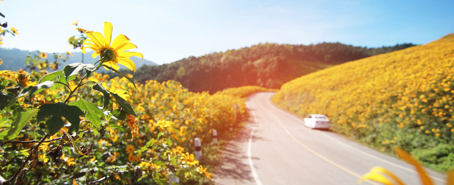 Road cutting through field of yellow flowers