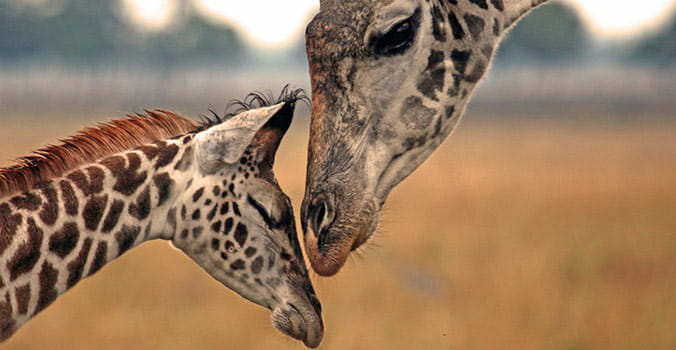 Giraffe and baby in Africa