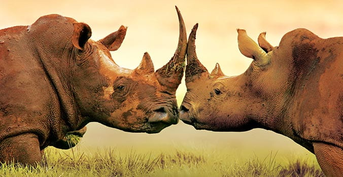 Rhinos face to face in Africa