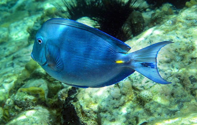 Blue and yellow tropical fish