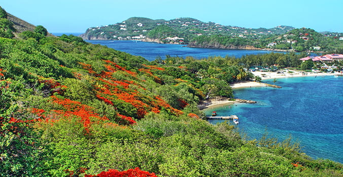 Flowering flame trees on the slope of Pigeon Island, Saint Lucia,