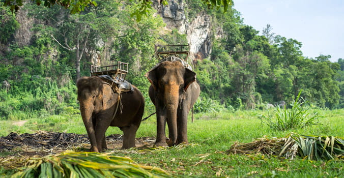 Asia elephants carrying tourist through the jungle trail in Thailand