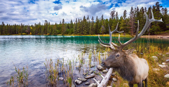 Deer near a lake in the Rocky Mountains of Canada