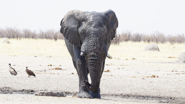 Blue Elephant ni Etosha National Park